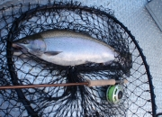 This fall steelhead fought like a Patriot Missile, Look at the girth!