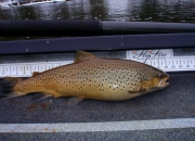 Muskegon River Brown Trout Fat As A Turkey