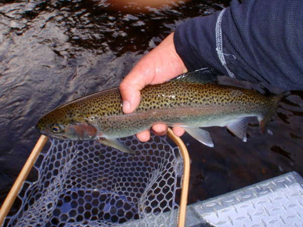 """18"""" Muskegon River Rainbow Trout"""