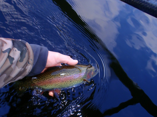 Muskegon River Rainbow Trout
